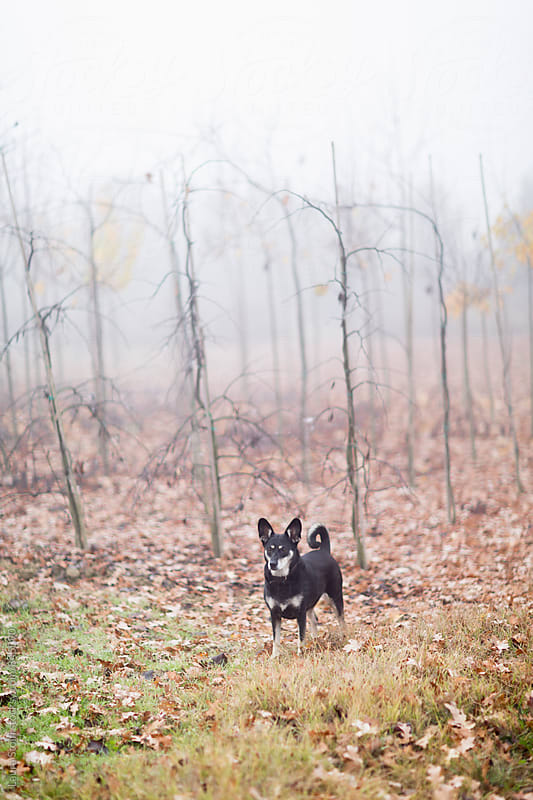 Little dog stands in the fog with bare plants on background by Laura Stolfi for Stocksy United