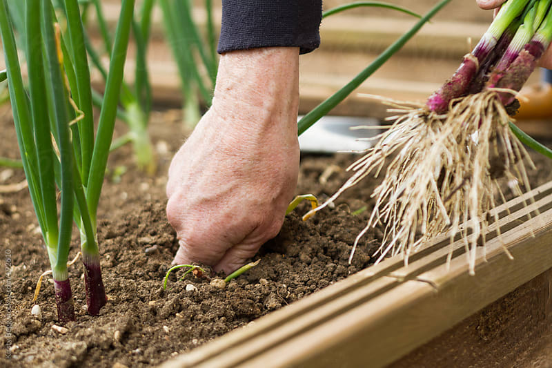Man harvests spring onions by Kirsty Begg for Stocksy United