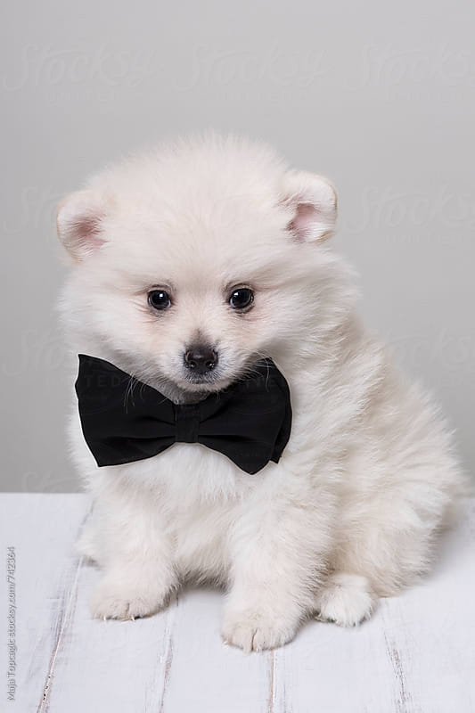 Little white pomeranian puppy with a bun by Maja Topcagic for Stocksy United
