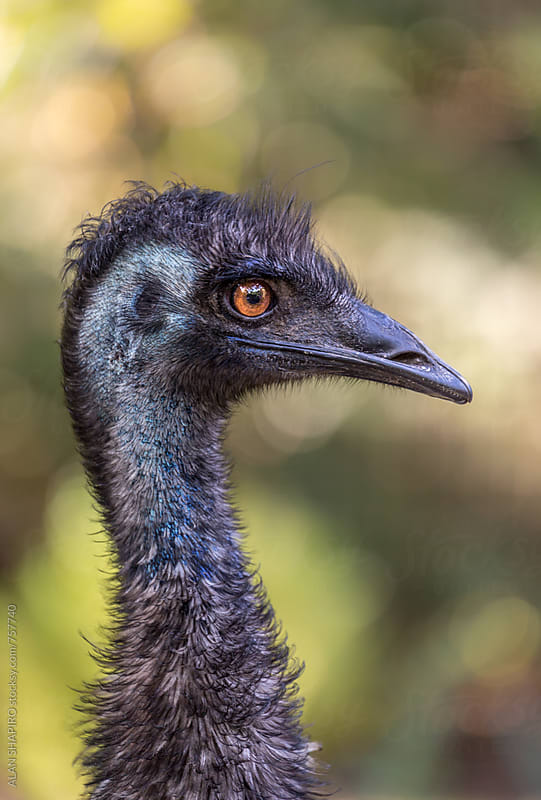 Emu in profile by alan shapiro for Stocksy United