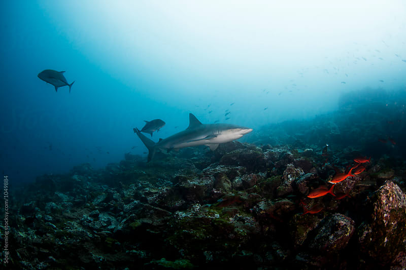 A  galapagos shark swimming up on the reef by Song Heming for Stocksy United