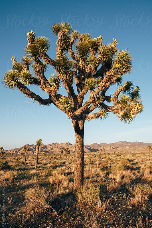 Joshua trees at dusk in the Mojave desert, Joshua Tree NP, CA, USA by Paul Edmondson for Stocksy United