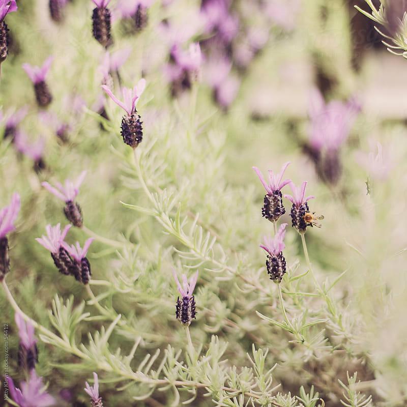 Lavender II by Kitty Gallannaugh for Stocksy United