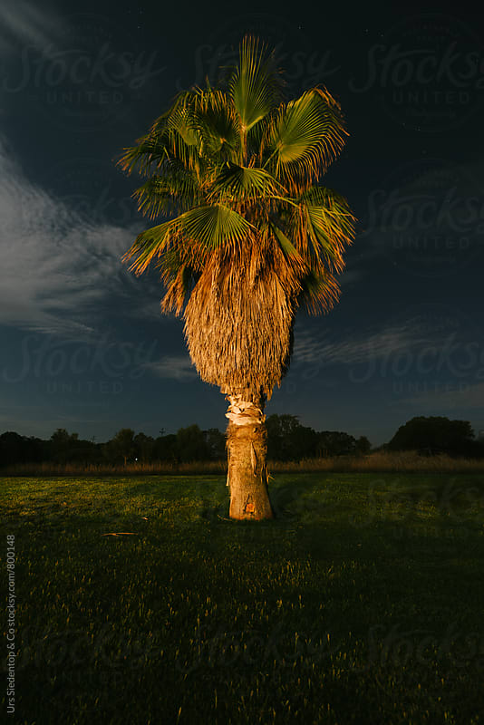 Palm tree at night by Urs Siedentop & Co for Stocksy United