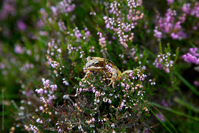 A frog in heather by Will Clarkson for Stocksy United