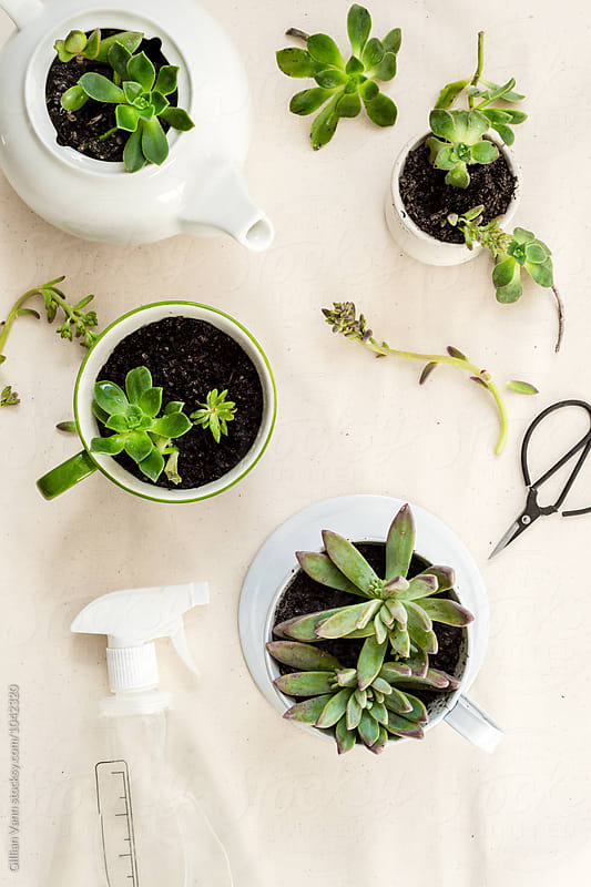 succulent cuttings used to make new potted plants in quirky upcycled containers, with spray bottle of water by Gillian Vann for Stocksy United