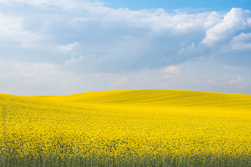 Yellow Rapeseed Field Landscape in Vojvodina by Nemanja Glumac for Stocksy United