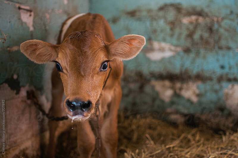 A week old baby calf by Chelsea Victoria for Stocksy United