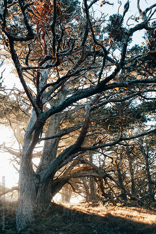 Shafts of sunlight shining through Monterey Cypress trees at Point Lobos State Park, CA by Paul Edmondson for Stocksy United