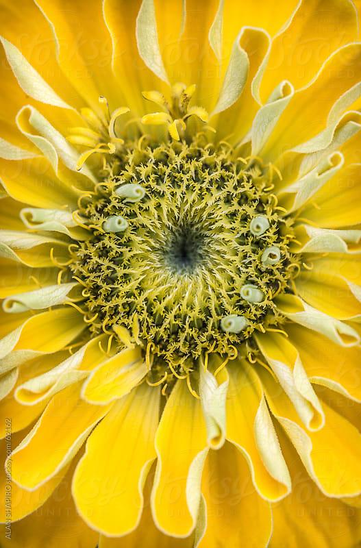 Yellow Chrysanthemum by alan shapiro for Stocksy United