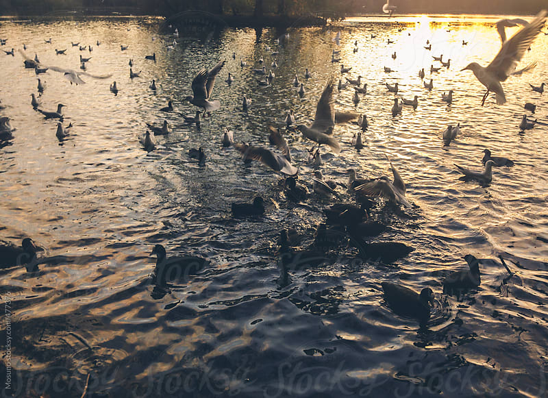 Ducks and Birds Fighting for Food on the Lake by Mosuno for Stocksy United