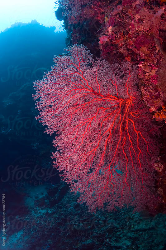 Bright red sea fan on the coral reef  underwater in Malaysia by Soren Egeberg for Stocksy United