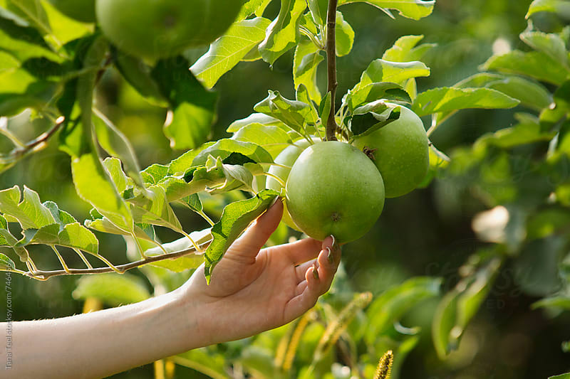 female hand reaches for green apple on a tree by Tana Teel for Stocksy United