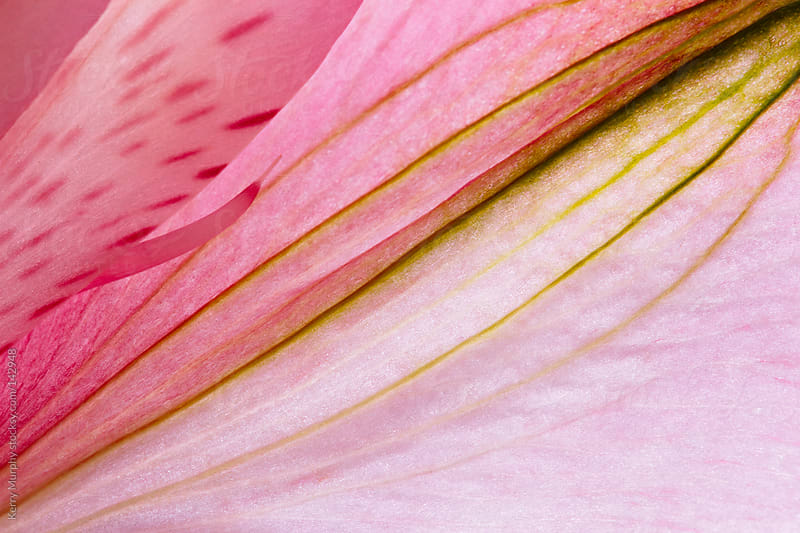 Macro abstract of pink flower petal by Kerry Murphy for Stocksy United