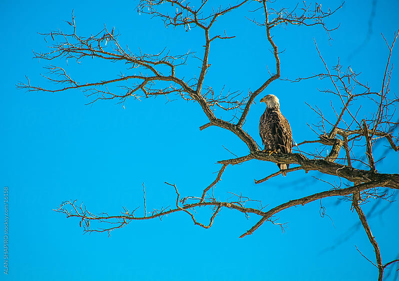 Bald Eagle on a limb by alan shapiro for Stocksy United