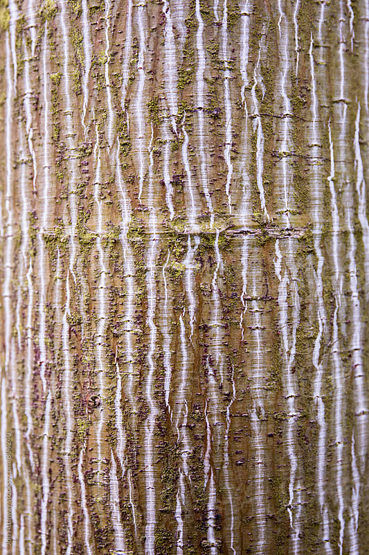 Tree bark texture by Jon Attaway for Stocksy United