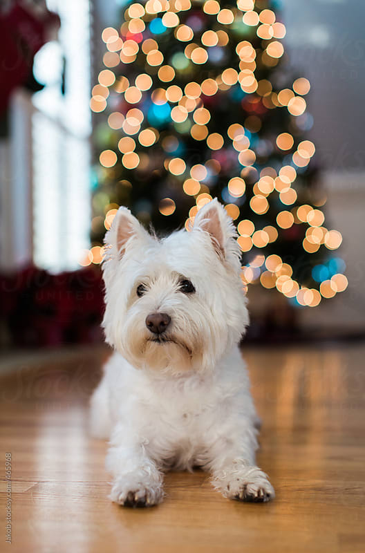 Cute white dog laying in front a christmas tree by Jakob for Stocksy United