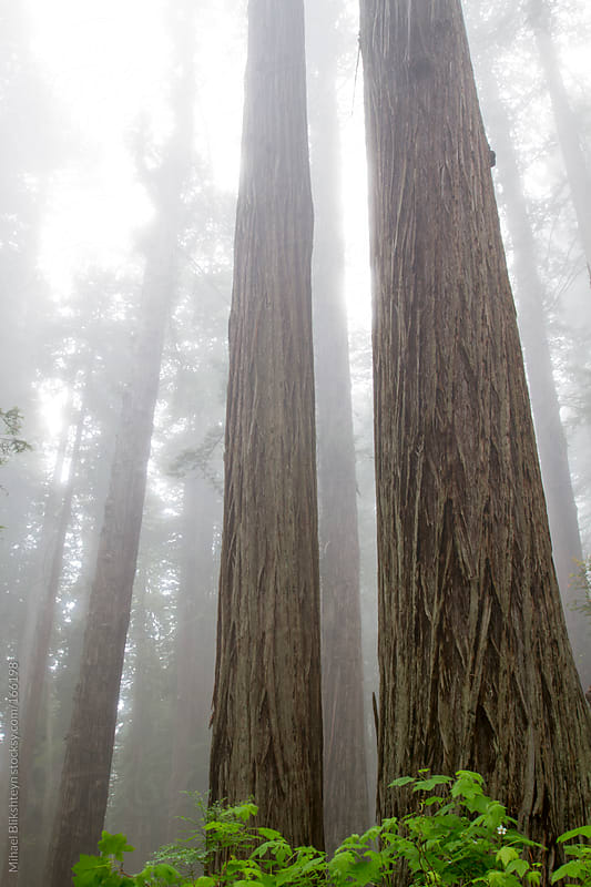 Tall coast redwood trees looming in the fog by Mihael Blikshteyn for Stocksy United
