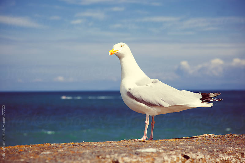Seagull by sally anscombe for Stocksy United