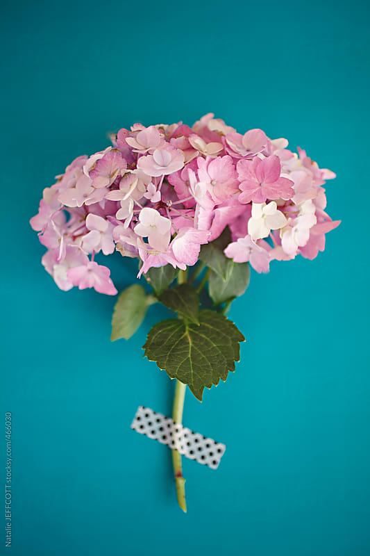 pink hydrangea on turquoise background by Natalie JEFFCOTT for Stocksy United
