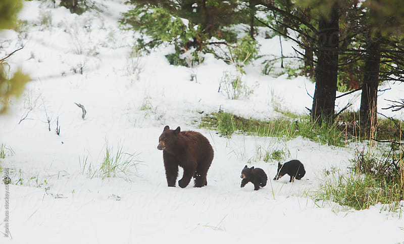 Bear Family Winter Forest Walk by Kevin Russ for Stocksy United