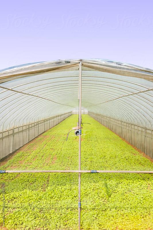 Green vegetable farm in greenhouse by Lawren Lu for Stocksy United