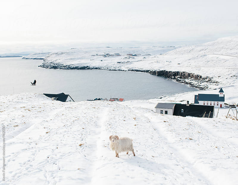 Ram, Faroe Islands by Kevin Faingnaert for Stocksy United