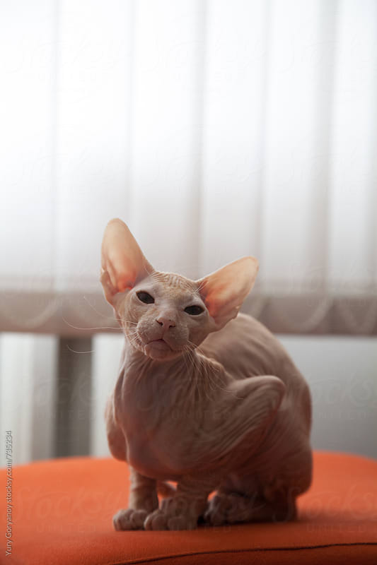 Portrait of a bald cat. Sphinx. by Yury Goryanoy for Stocksy United