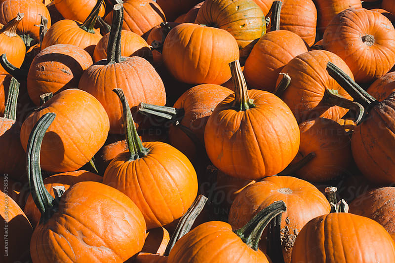Pumpkins at a pumpkin patch in autumn by Lauren Naefe for Stocksy United