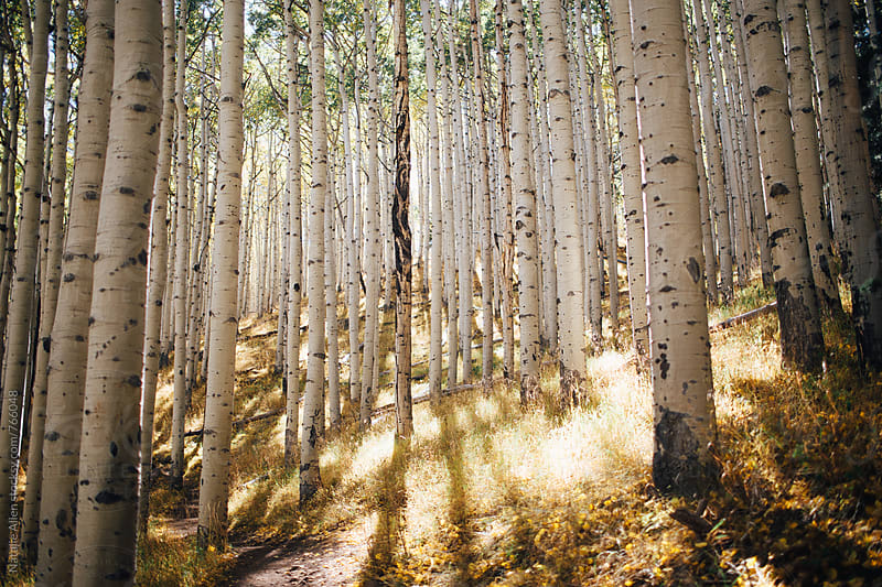 Aspen Forests by Natalie Allen for Stocksy United
