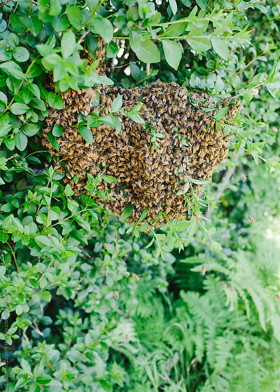 swarm of bees on hedge by Cameron Zegers for Stocksy United