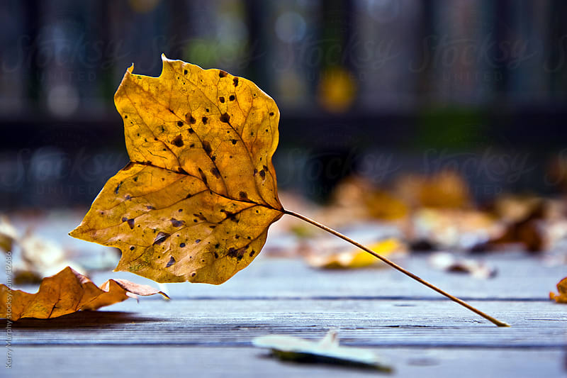 Autumn leaf on ground by Kerry Murphy for Stocksy United