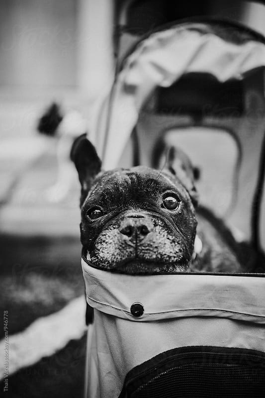 french bulldog in a baby carriage  by Thais Ramos Varela for Stocksy United