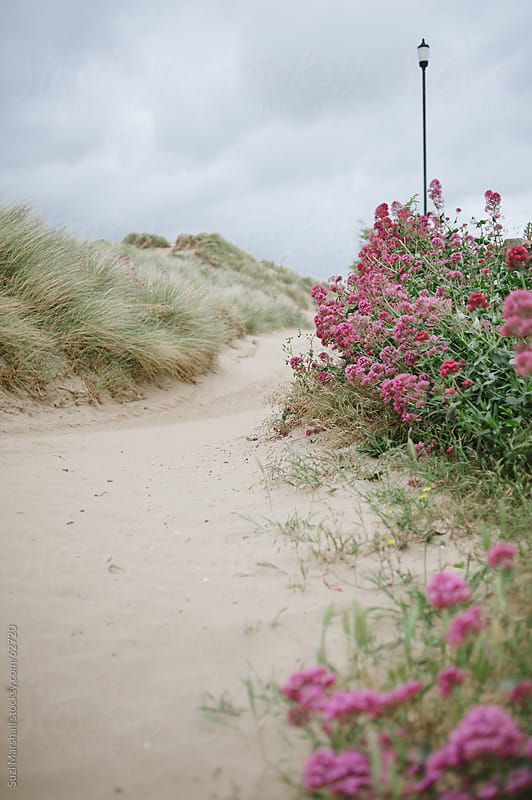 Path lined with flowers and seagrass in sand dunes at the beach by Suzi Marshall for Stocksy United