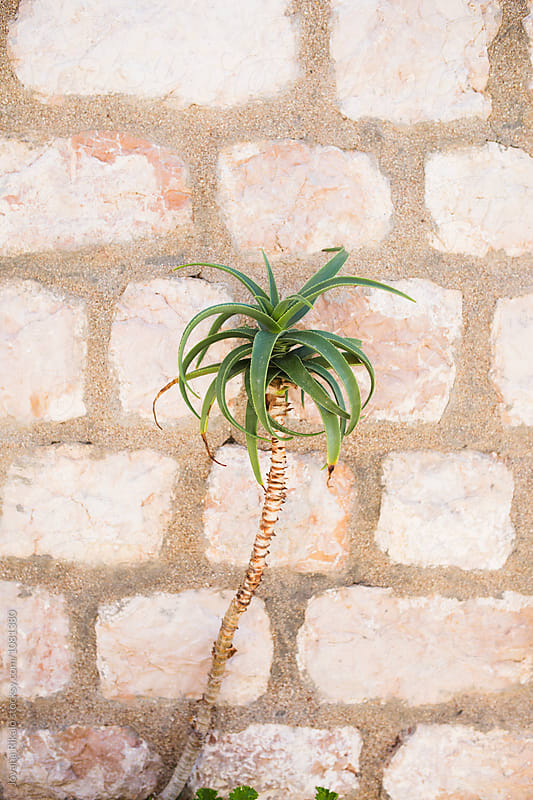 Little palm tree against wall by Jovana Rikalo for Stocksy United