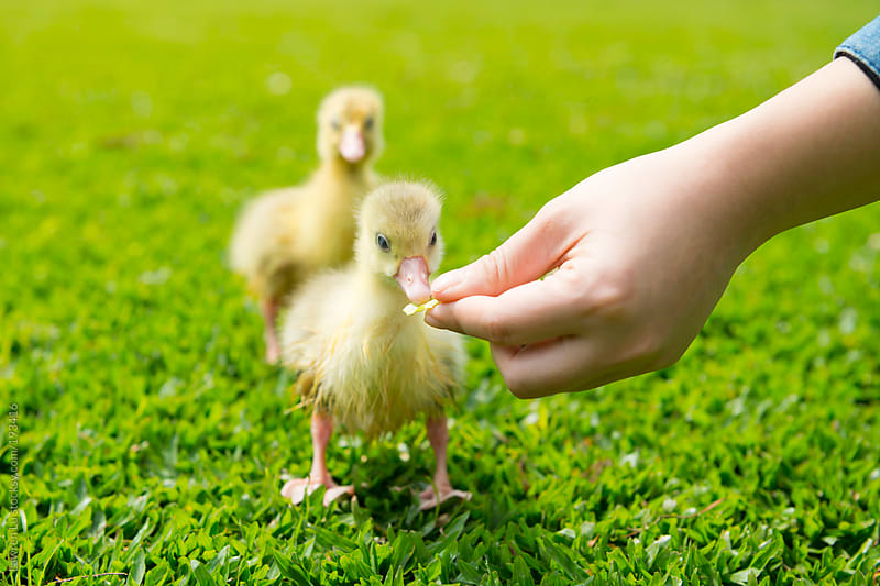 Feeding little gosling on green grass by Lawren Lu for Stocksy United