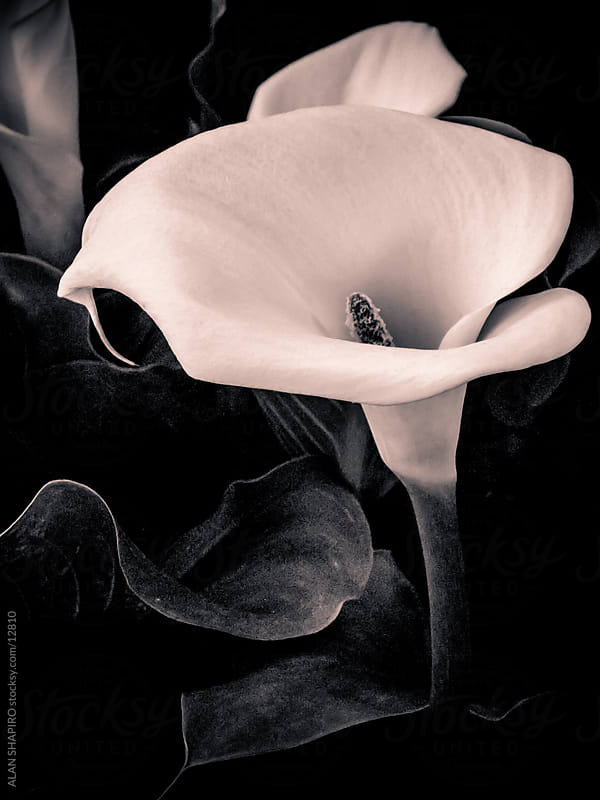 Monochrome Cala Lily by alan shapiro for Stocksy United