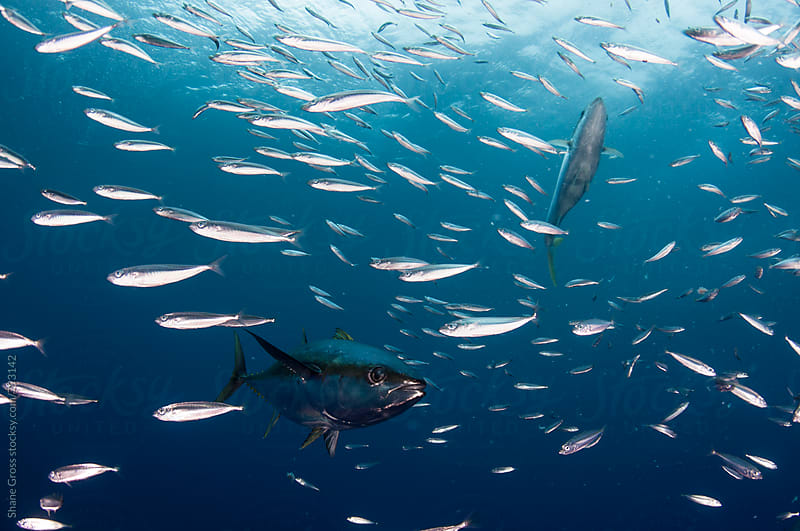 Yellowfin Tuna Feeding on a Baitball by Shane Gross for Stocksy United