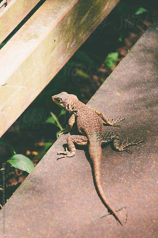Lizard, Amazon Lava lizard (Tropidurus Torquatus) by Alejandro Moreno de Carlos for Stocksy United