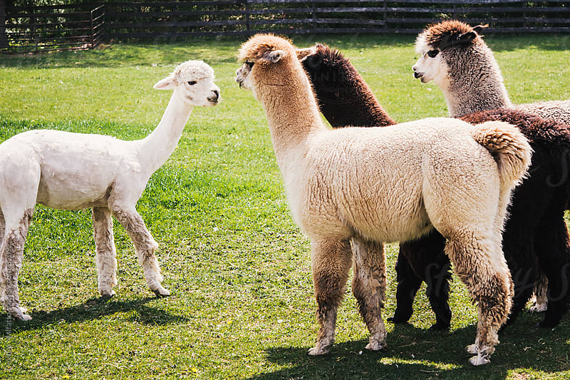 Group of Alpacas, One Freshly Sheared by Deirdre Malfatto for Stocksy United
