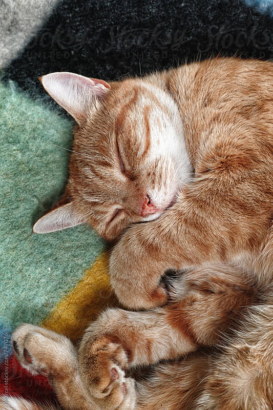 Ginger tom cat sleeping on a blanket by Marcel for Stocksy United