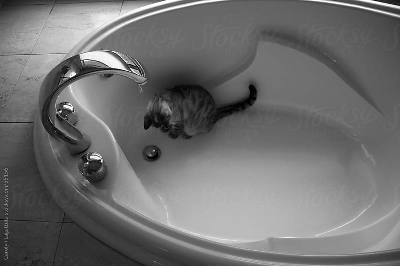 Siamese cat in the bathtub waiting for drops to fall by Carolyn Lagattuta for Stocksy United