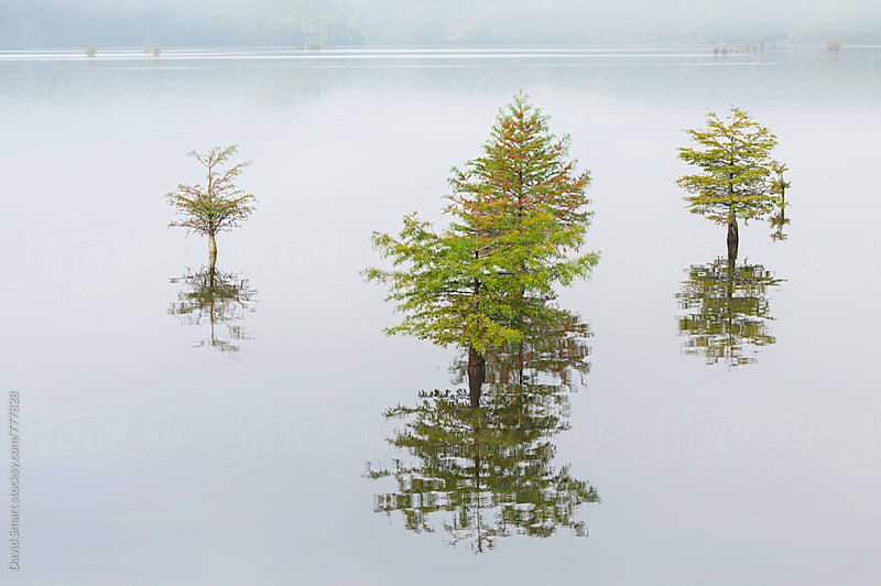 Young bald cypress trees on a foggy morning by David Smart for Stocksy United