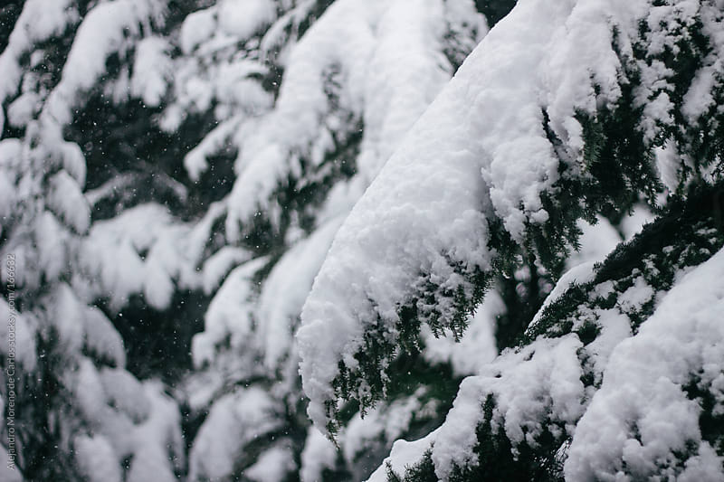 Tree branches covered in snow by Alejandro Moreno de Carlos for Stocksy United