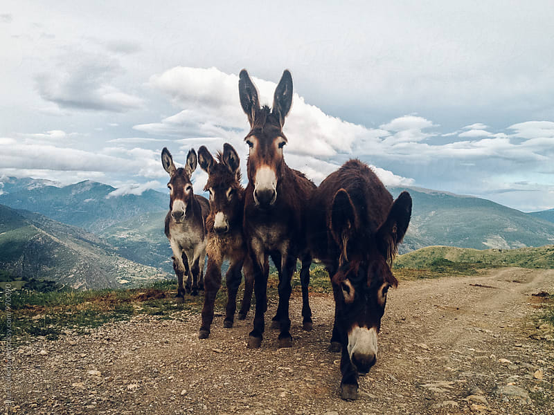 Four Friendly Donkeys Together by Jordi Rulló for Stocksy United