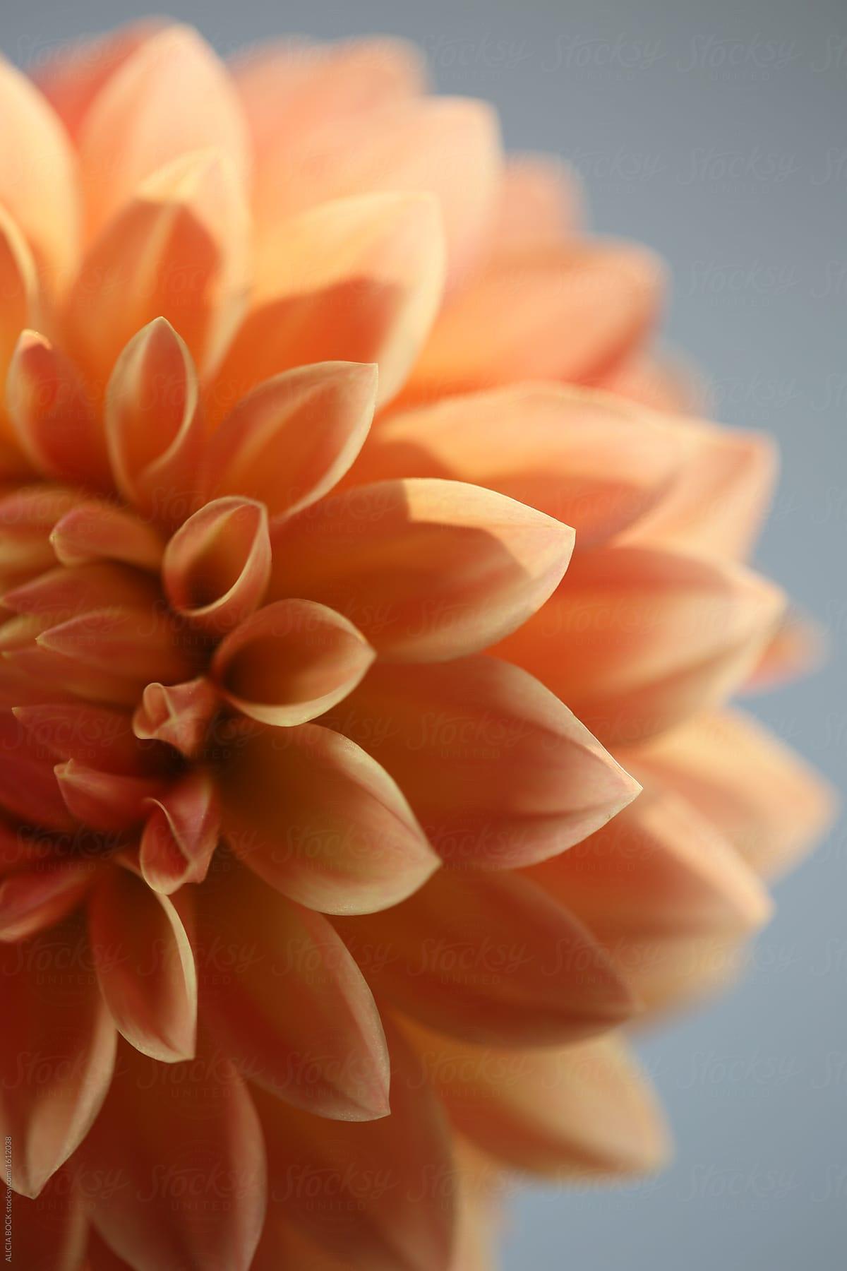 Close Up Of A Bright Orange Dahlia Flower Stocksy United