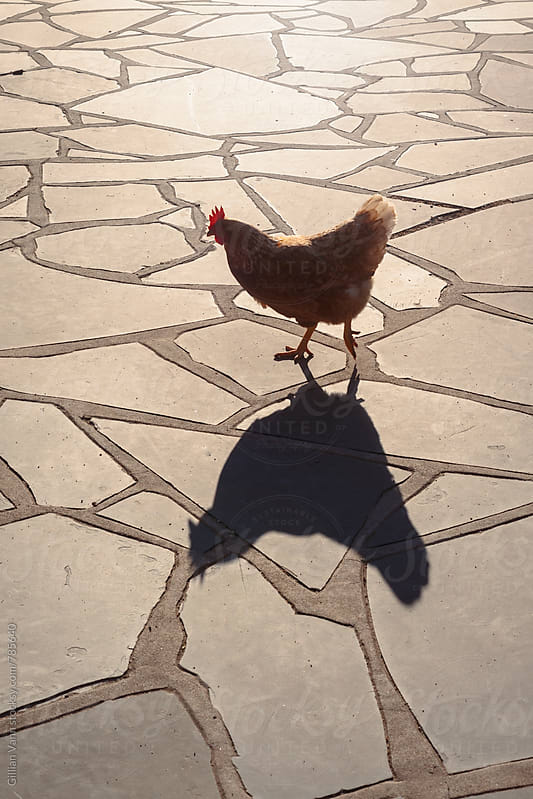 backlit hen with shadow by Gillian Vann for Stocksy United
