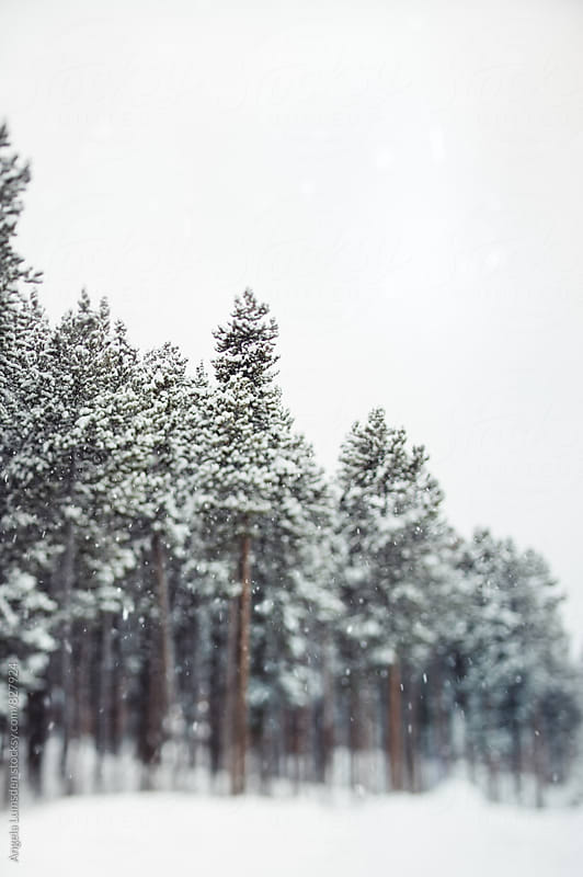 Selective focus image of a stand of pine trees on a snowy day by Angela Lumsden for Stocksy United