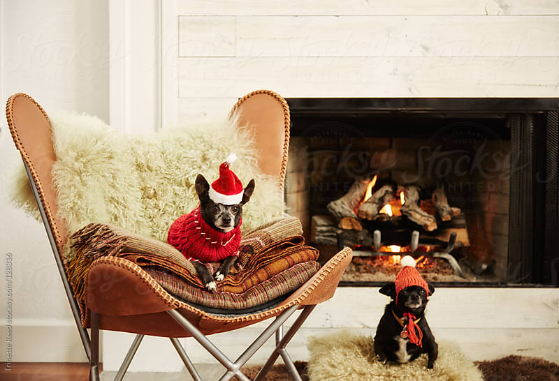 Two Chihuahua dogs in front of fireplace in living room wearing hats by Trinette Reed for Stocksy United