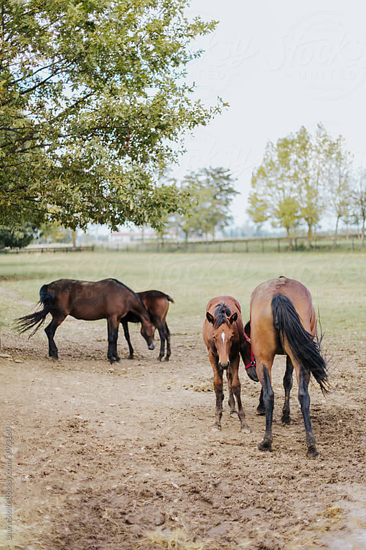 Two foals and two mother horses together  by Laura Stolfi for Stocksy United